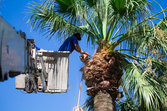 palm-tree-trimming